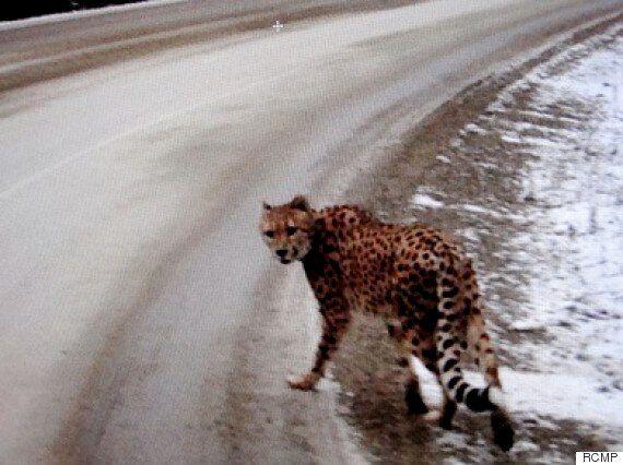 Cheetah In B.C. Interior Still Missing After
