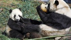 No Baby Panda For Toronto Zoo Just