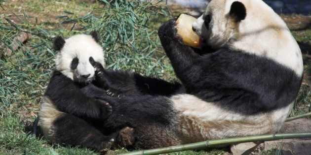 No Panda Pregnancy At Toronto Zoo (But It Took Eight Months To Know For