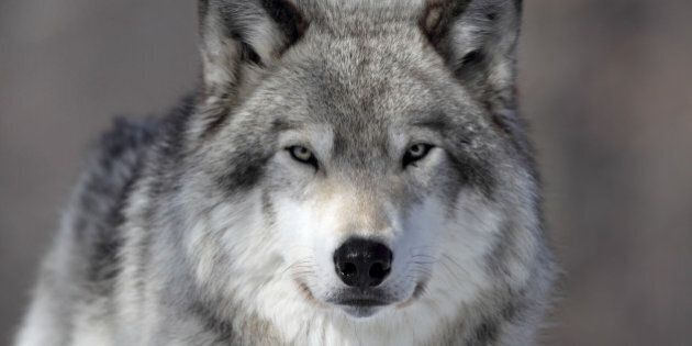 Closeup of a Grey Wolf in Parc Omega,
