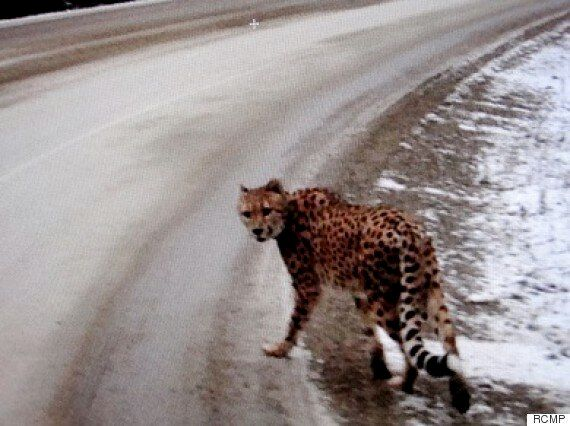 Cheetah Spotted Along B.C.