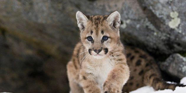 Orphaned Alberta Cougar Cub Given New Home In Manitoba