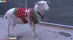 This Sheep Is Wearing A Festive Christmas