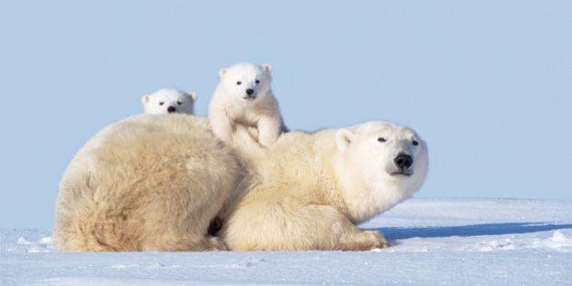 Hungry Polar Bear Cubs Shot After Entering Nunavut