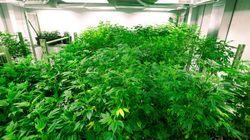 B.C. Doctors Blast Canada's Medical Marijuana