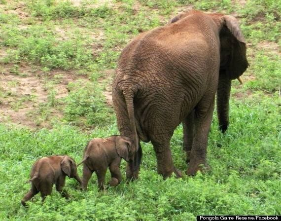 Rare Baby Elephant Twins Are A Delight To