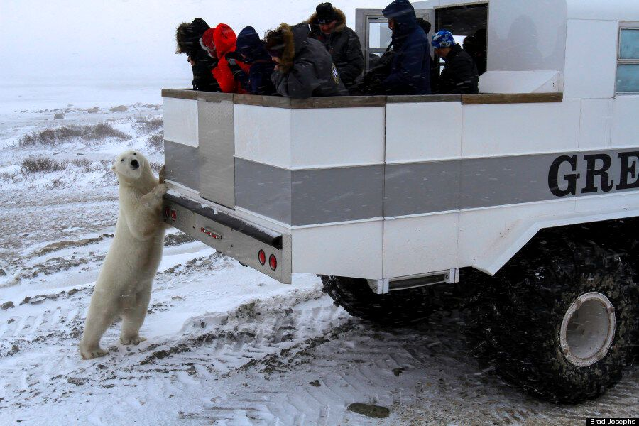 Tundra Lodge Puts You Face To Face With Polar Bears In Northern