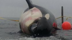 Teeth Stolen From Dead, Pregnant Orca In