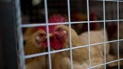 Canadian Poultry Banned In 7 Countries After B.C. Avian