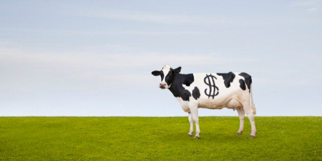 A Holstein Dairy cow with spots in the shape of a dollar sign stands in a