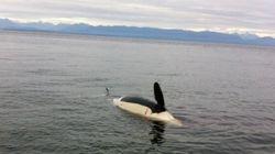Dead Orca Found Off B.C.
