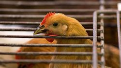 35,000 B.C. Birds To Be Euthanized After Avian Flu