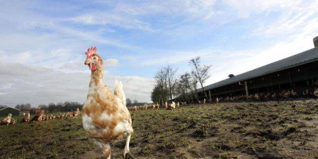 SPIER, NETHERLANDS: Poultry farmer Frank de Ronde (unseen) lets his birds go outside 19 February 2007...
