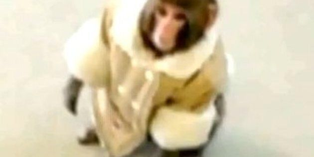 Darwin The Ikea Monkey Looking To Raise Money For A New