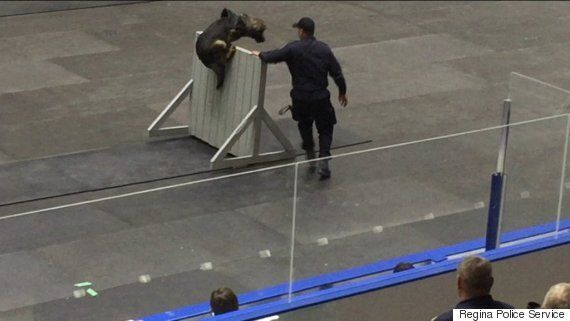 Edmonton German Shepherd Maverick Wins Police Canine