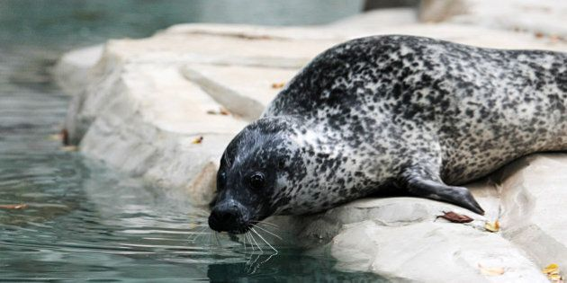 USTI NAD LABEM, CZECH REPUBLIC - OCTOBER 7: The harbor seal (Phoca vitulina) prepares to jump into water...