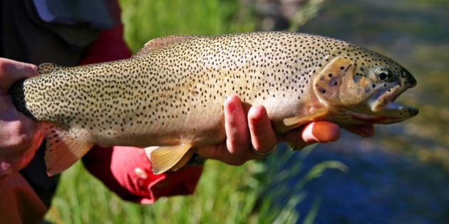 caught and released fly fishing in a small stream in southern Alberta,