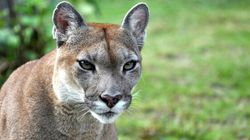 Cougar Attacks Toddler In B.C. Family's