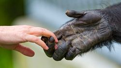 How Similar Are Humans to Chimpanzees and
