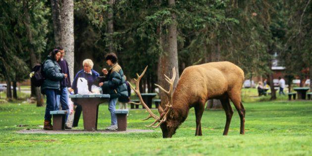 Bull elk feeding in Central Park beside tourists, Banff, Alberta,
