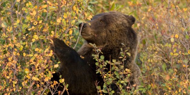 'In the fall, a female grizzly bear eats chokecherries from bushes in the Grand Tetons National Park....