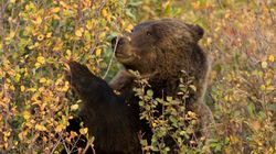 Banff Makes Big Move To Keep More Bears, And Humans,