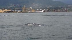 It Doesn't Get More Vancouver Than A Grey Whale In The