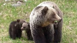 4 Grizzly Bear Attacks In 2 Weeks In
