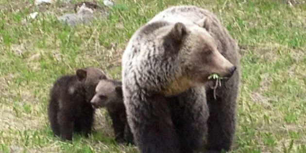 Grizzly Bear Attack Near Sparwood, B.C. Makes 4 This