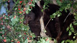 Alberta Bears Love Crab Apples.. And It's A Big