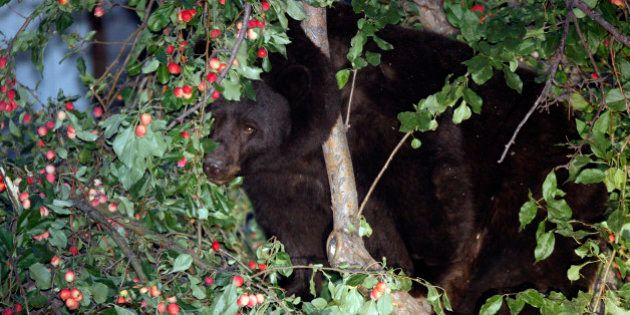 In this Aug. 25, 2009 photo, a bear forages for crab apples in a tree north of Main Street in Aspen,...
