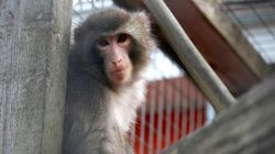 The Ikea Monkey Won't Have To Find A New Home After