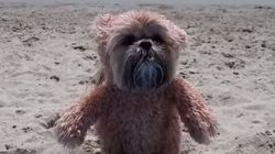 Munchkin The Teddy Bear Dog Spends A Day At The
