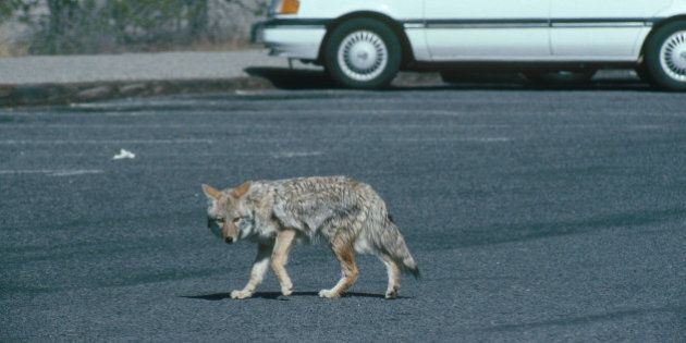 Coyote (Canis latrans) skulking through a parking lot.