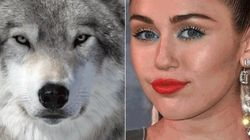 Miley Cyrus Lends Support To Ending B.C. Wolf