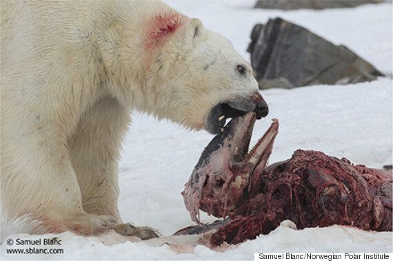 'Horribly Thin' Polar Bear Revealed In Kerstin Langenberger's Photo From