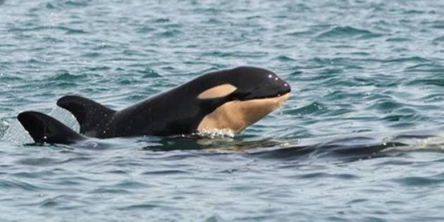 B.C. Killer Whales Welcome 5th Baby In A