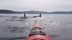 'Hold On Tight!': Kayakers Surrounded By Killer Whale Pod Near
