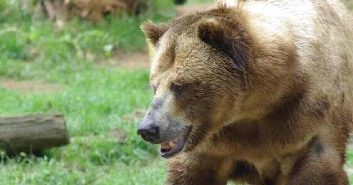 grizzly bear attacks - 1200×630