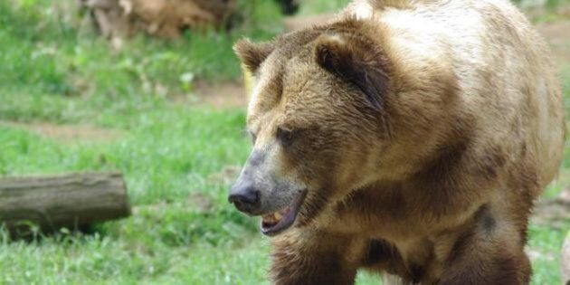 Grizzly Bears Attacks 2 Men South Of Fort Nelson,