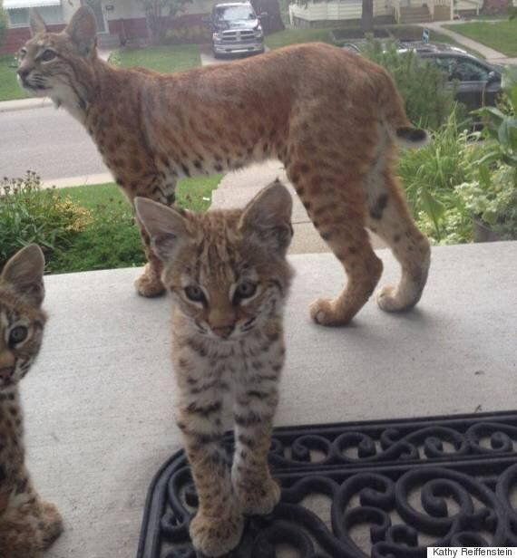 Adorable Bobcat Kittens Make Surprise Appearance On Calgary