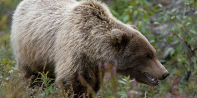 Grizzly Bear Attacks Quad, Motocross Riders Near Cochrane,