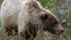 Mother Bear Injures Quad, Motocross Riders In Alberta