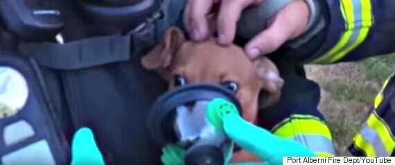 Puppy-Size Oxygen Masks Help Chihuahuas Rescued From B.C. House
