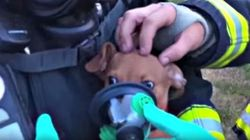 Puppy-Size Oxygen Masks Help Chihuahuas Rescued From