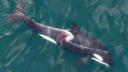 Injured Killer Whale Likely Hit By Boat