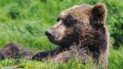 WATCH: Grizzly Bear Makes His Best Toddler