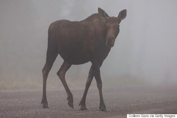 Alberta Wildlife Officers Killed 'Very Calm' Mother Moose: