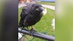 Famous Vancouver Crow In Bird Hospital After Alleged