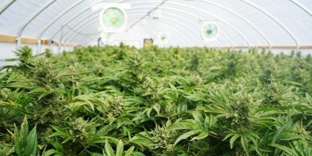 Large Indoor Marijuana Commercial Growing Operation With Fans, Greenhouse, Equipment For Growing High...
